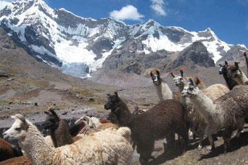 Llamas-Cusco